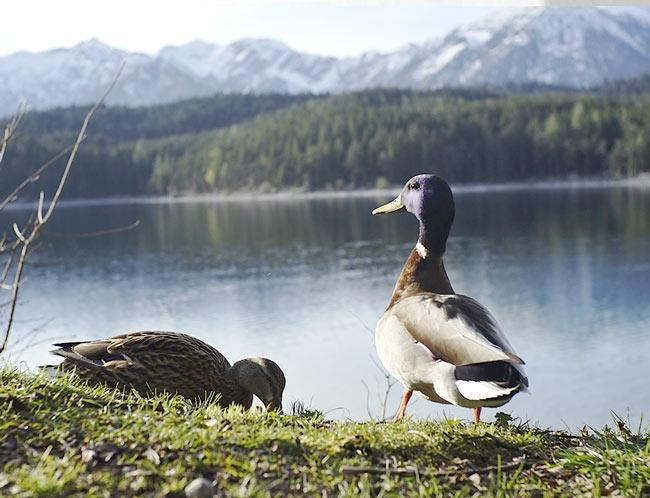 Enten am Eibsee